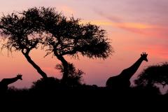 Sickness of Africa / Mal d'Africa