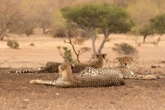 Cheeta's family