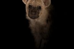 Young hyena / Cucciolo di iena