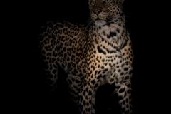 Leopard / Leopardo
