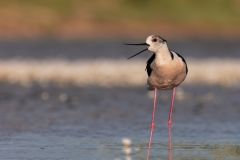 Black-winged stilt / Cavaliere d'Italia