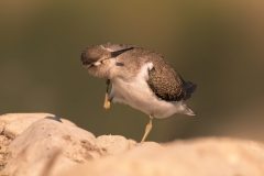 Common sandpiper / Piro piro piccolo