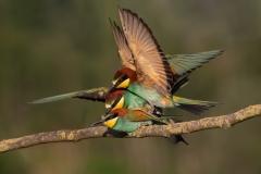 Bee-eater in love / Gruccioni in accoppiamento