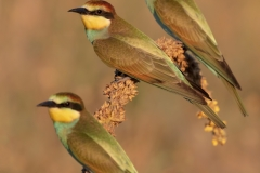 Bee eater at sunset / Gruccioni al tramonto