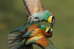 Bee-eater fight