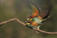 bee-eater in love2
