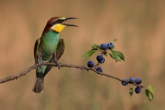 Young bee-eater / Giovane gruccione