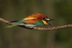 Bee-eater / Gruccione adulto