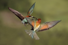 Bee-eater fight 2