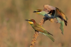 Bee- eater at sunset 2 / Gruccioni al tramonto 2