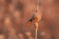 Female Redstart / Codirosso spazzacamino