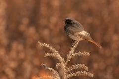 Male Redstart / Codirosso spazzacamino
