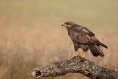Common buzzard / Poiana