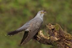 Common-cuckoo / Cuculo