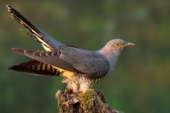 Common cuckoo / Cuculo