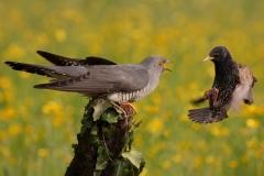 coocko vs starling