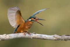Female kingfisher / Martin pescatore femmina