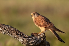 Lesser kestrel female / Falco grillaio femmina