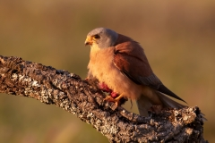 Lesser kestrel at sunset / Grillaio nel vespro