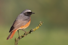 Common redstart / Codirosso