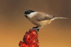 Marsh tit / Cincia bigia
