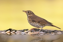 song thrush / Bottaccio