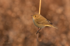 Common chiffchaff / Luì piccolo