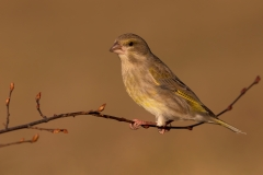 Greenfinch / Verdone