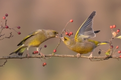 greenfinch / Verdoni