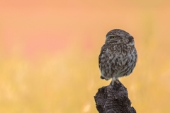 Owl at sunset / Civetta al tramonto
