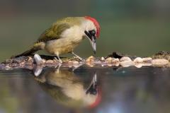 Green woodpecker female