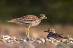 Stone Curlew family